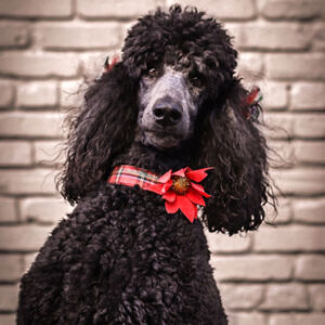 """Headshot of Zoe Cardamone (Our """"mascot"""" - black poodle) - Unity Payments - HR, Emotional Support"""